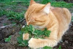 Кот вегетарианец из Секты травоядных котов