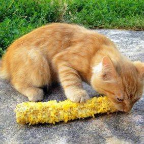 кот-вегитарианец ест кукурузу