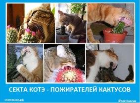 Секта котэ - пожирателей кактусов. Сектовасия